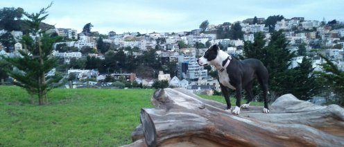 Spoon poses beautifully on the fallen Monterey cypress at Kite HIll.