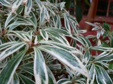 Pieris japonica 'Haviland' with it's variegated leaves.