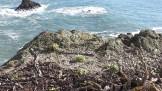 Native Dudleya on the cliffs.
