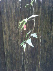 A tiny Abutilon flower hanging over a fence at Sutro Forest.