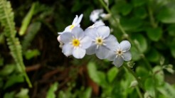 Forget-Me-Nots at my Sutro Forest client.