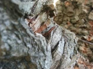 Macro of cork oak bark on 20th St.