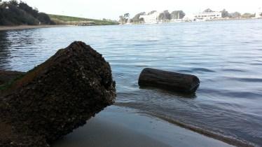 Barnacled oak tree on the beach.