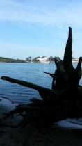 Oak roots and Treasure Island.