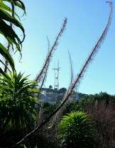 Sutro Tower through the echium spikes at Kite Hill