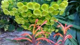 Euphorbia and Montbresia.