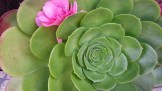 Camellia fallen on aeonium looks deceptively like it grew there. :)