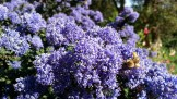 Supremely happy bees on a ceanothus.