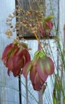 Flowers of Sarracenias in the sink bog at Flora Grubb Gardens.