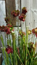 Flowers in the carnivorous bog sink at Flora Grubb Gardens.