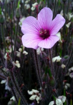 Flower close-up on a Geranium maderense. These biennials absolutely sparkle and glow in moonlight!