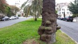 Amusing lumps of vestigial air roots on a Canary Island palm. Dolores St at Liberty.