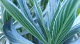 Soft and silvery foliage of an echium.
