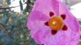 Crepe petals of Cistus (rock rose) in Seward Park.