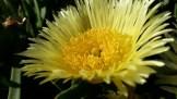 On Market St, a flowering Carpobrotus edulis, or classic ice plant.