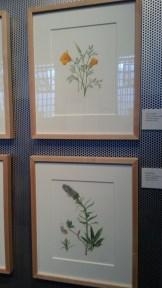 Watercolors in the Alcatraz Florilegium exhibit, November 15, 2013.