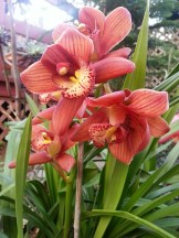 Now I know the trick to getting cymbidium orchids to bloom: Ignore them. We've always gotten one or two inflorescences. This year, with drought and ignoring, we had half a dozen!