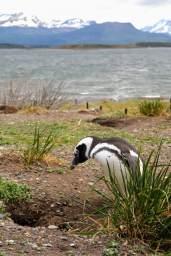 Penguin, Argentina