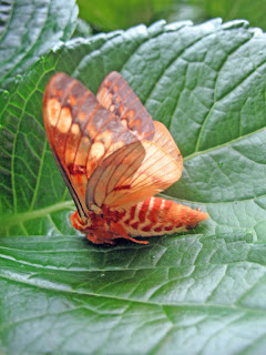 Erica Ridley in Costa Rica: giant moth on leaf