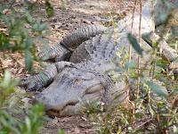 Alligator sunbathing at Riverbanks Zoo