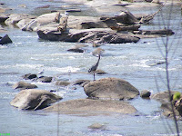 Gray Blue Heron on granite boulders by geological Fall Line