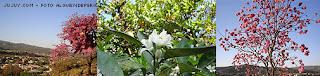 flores lapacho naranjo
