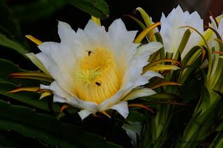 Sweet Pitaya's  Flowers - Dragon Flowers