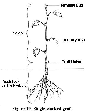 Tools and Supplies for Budding and Grafting