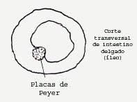 .: PLACAS DE PEYER: