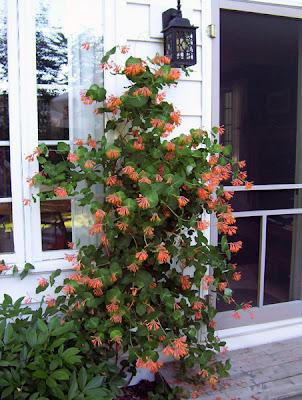 Honeysuckle vine in bloom