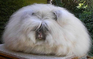 english angora rabbit Os animais mais estranhos e esquisitos do mundo