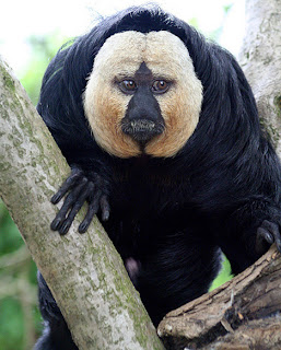 white faced saki monkey Os animais mais estranhos e esquisitos do mundo