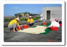 康樂社區: 豆腐乳製作過程