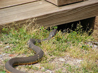 Water Snake by the canal at Riverfront Park