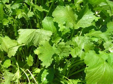 Broccoli Rabe (Rapini)