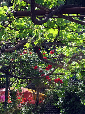 An old climbing rose at Sant'Agnese.
