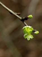 de meidoorn komt in blad