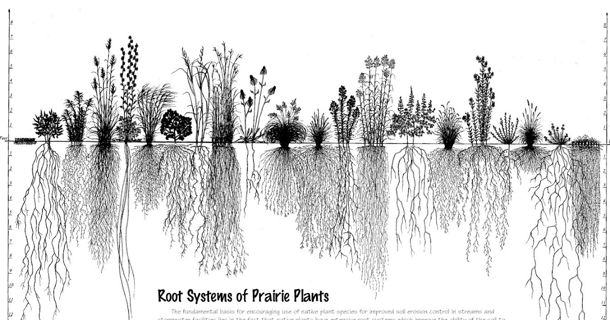 native plant girl: Root Systems Of Prairie Plants
