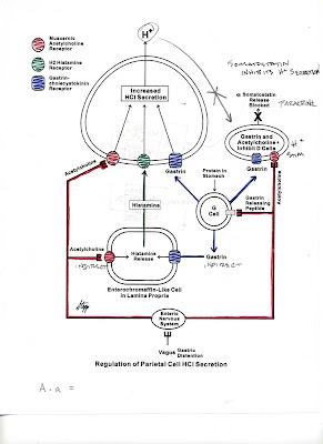 USMLE 252: Acid secretion in stomach
