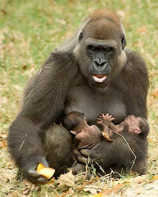 Cute Baby Shoes Wallpaper Gorilla Mother With Baby Crazy Pics