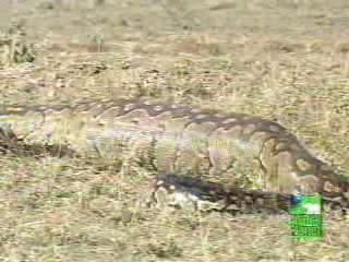 吃了一隻羚羊的蟒蛇