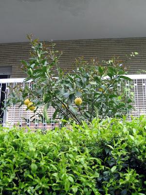 A lemon tree outside our building.