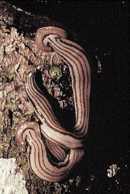 Dugesia japonica to infer biological phenomena such as adaptive radiations cloning of a  gene from the hagfish (Eptatretus burgeri).