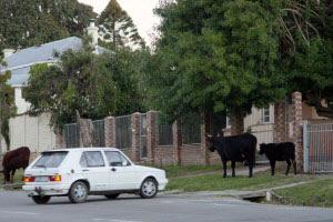 Cows grazing on sidewalk