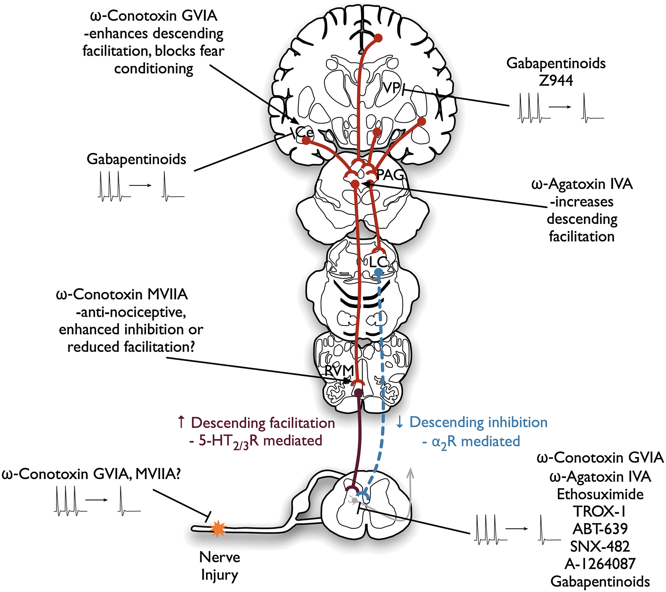 Calcium channel modulation as a target in chronic pain