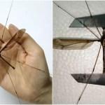 世界最大のモンスター「蚊」を中国で捕獲!手のひらよりデカく不気味さマシマシ