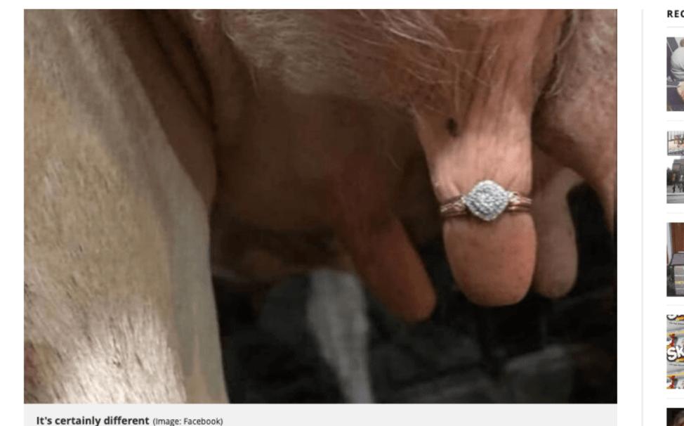 牛の乳房に婚約指輪でプロポーズ大作戦