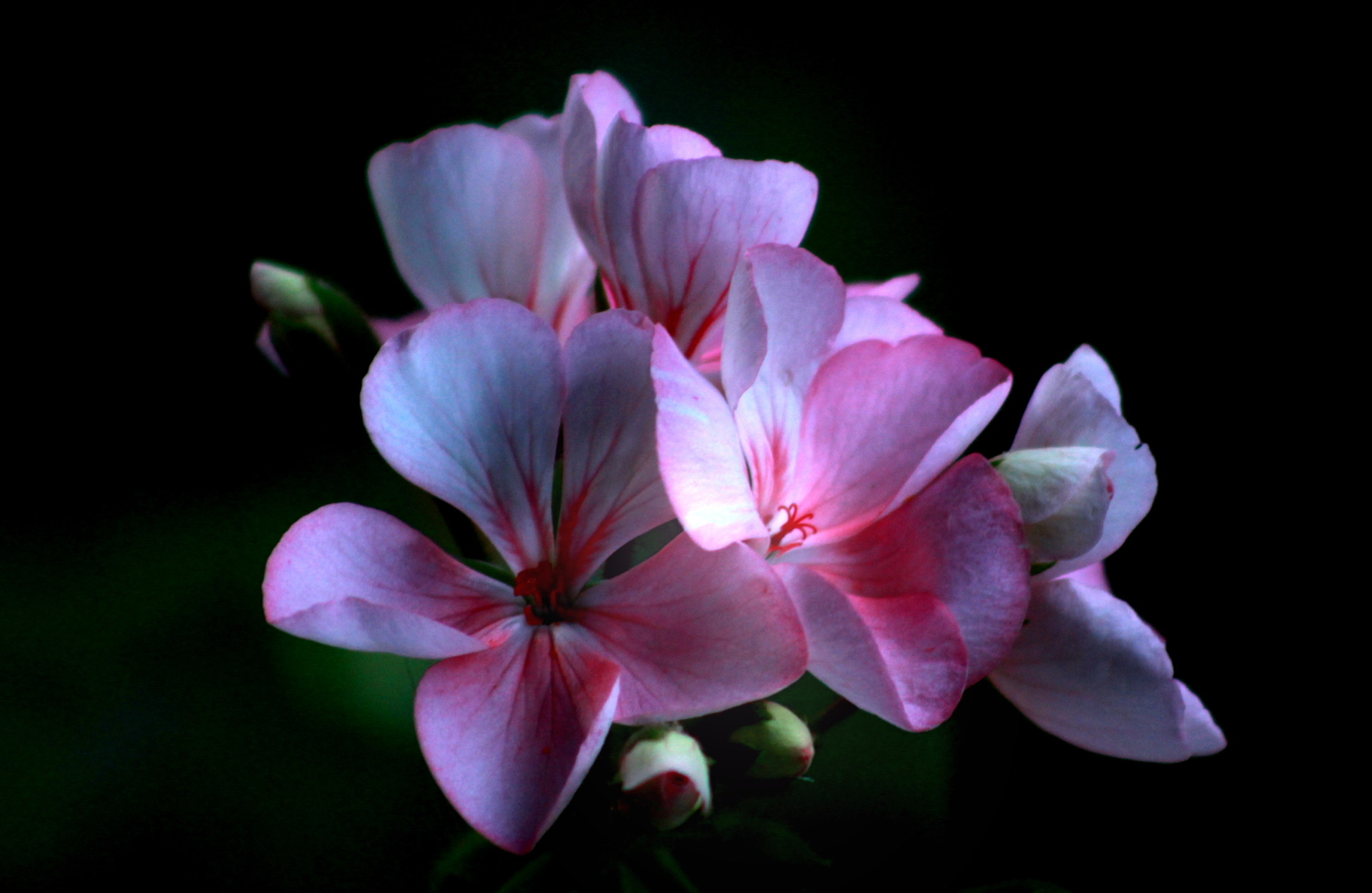 pink begonia with dark background