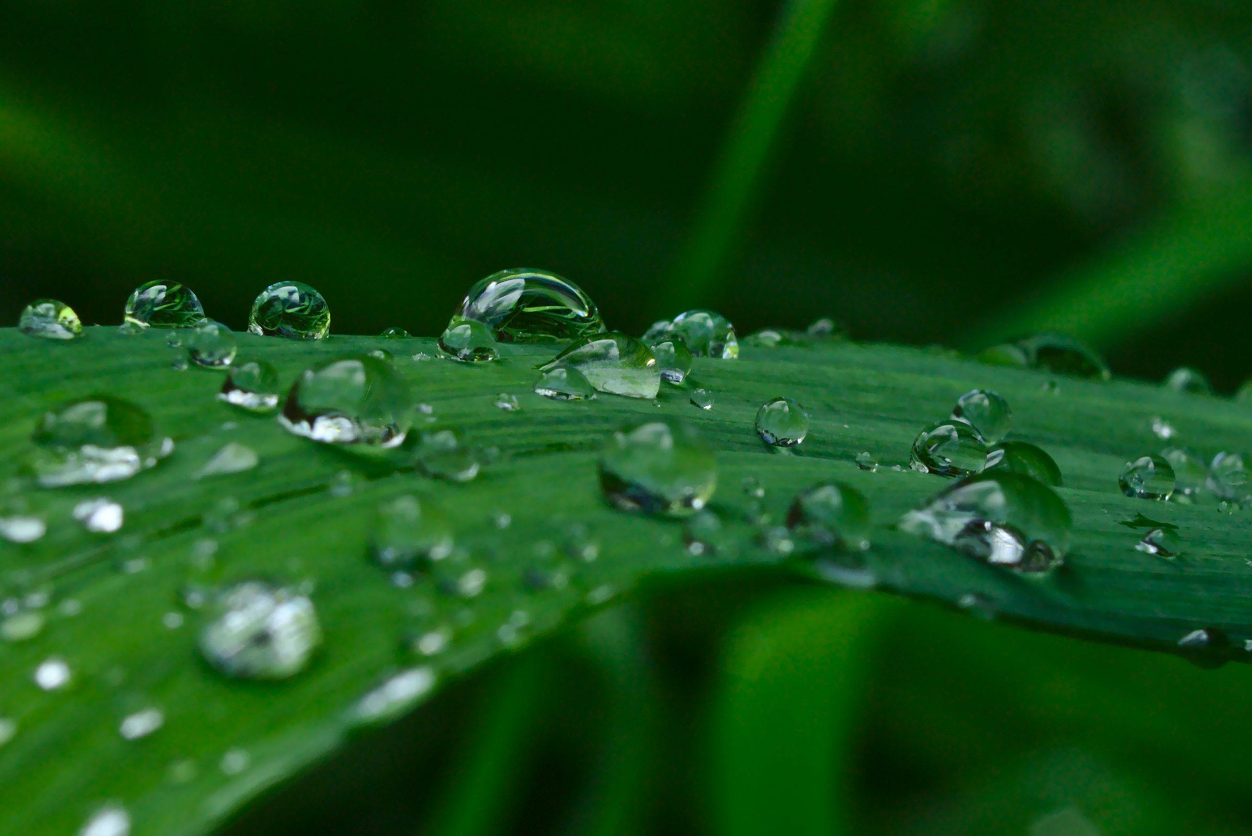 Raindrops on daylily leaf