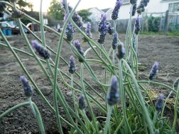 lavender_3-27-08